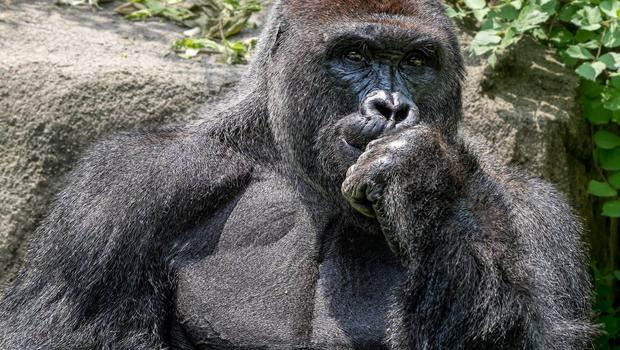 After Harambe S Death Gorilla Activists Point To Quot Bigger