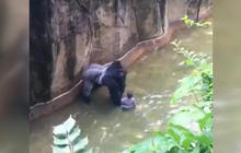 No charges for parents in death of gorilla at Cincinnati Zoo