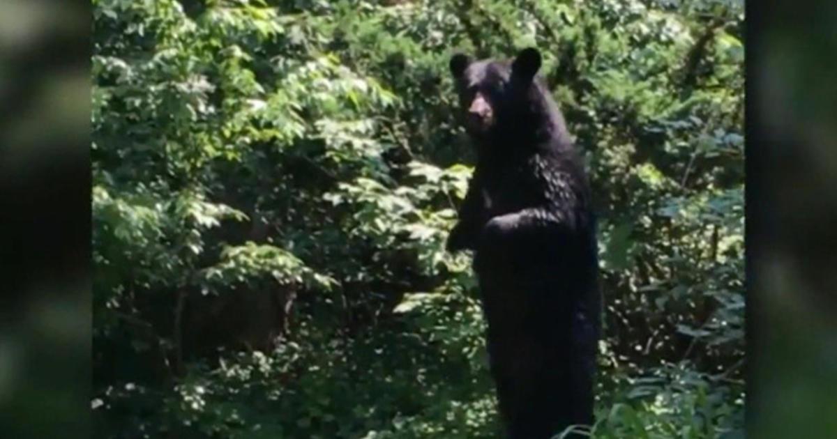 """Pedals"""" the walking bear returns - Videos - CBS News: www.cbsnews.com/videos/pedals-the-walking-bear-returns"""