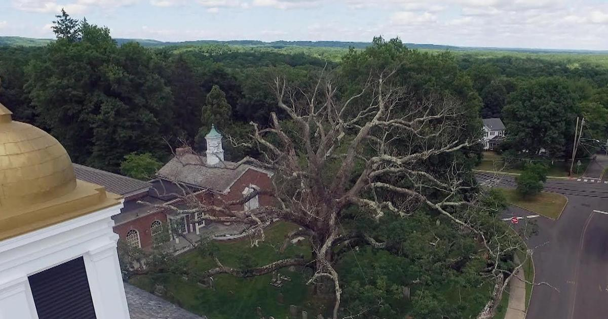 The Oldest White Oak Tree In North America Is On Its Last