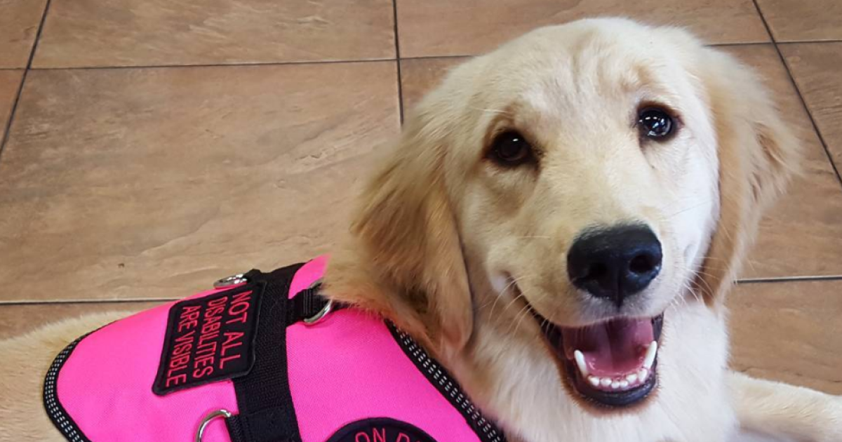 This service dog is wowing the internet with her for Internotes r web retriever