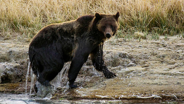 Grizzly bear mauls, seriously injures elk hunter
