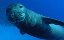 Nature: Monk seals in Hawaii
