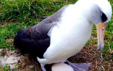 66-year-old albatross pregnant - again