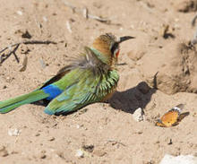 african-tiger-butterfly-white-fronted-bee-eater.jpg