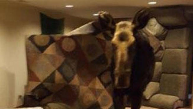 Moose falls into basement of Hailey home