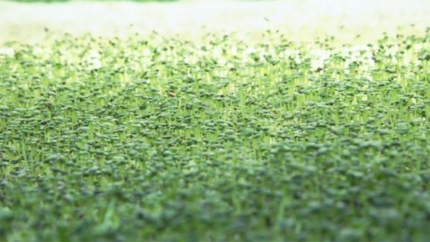vertical-farming-philips-academy-seedlings-620.jpg