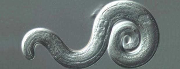 鼠肺蠕虫,parasite.png