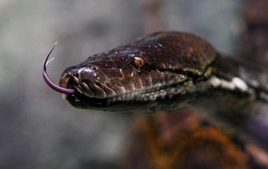 Insane snake attacks [WARNING: GRAPHIC IMAGES]