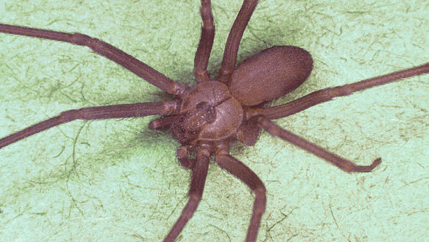 Spider pictures recluse bites brown
