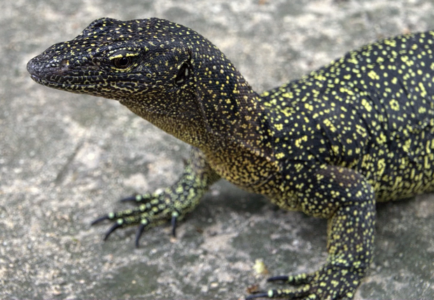 Literally lost in the early 1800's, a monitor lizard species is rediscovered in Papua New Guinea