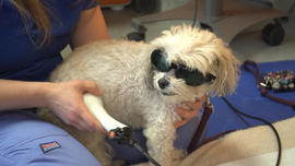 small-dog-laser-therapy.jpg
