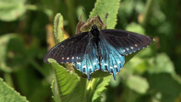 Pipevine Butterfly Larvae.. by suzi46 (Photo) | Weather ... |Pipevine Swallowtail Butterfly