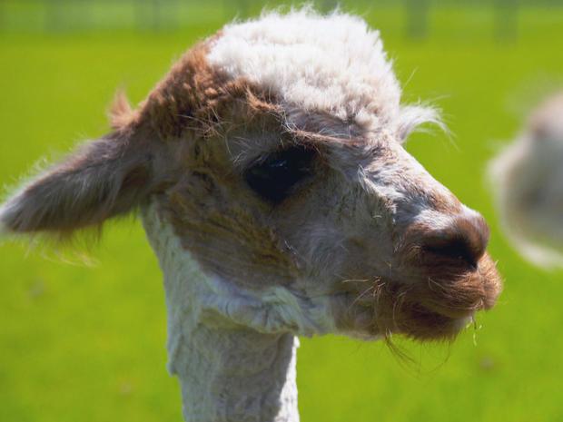 alpacas-3-promo.jpg