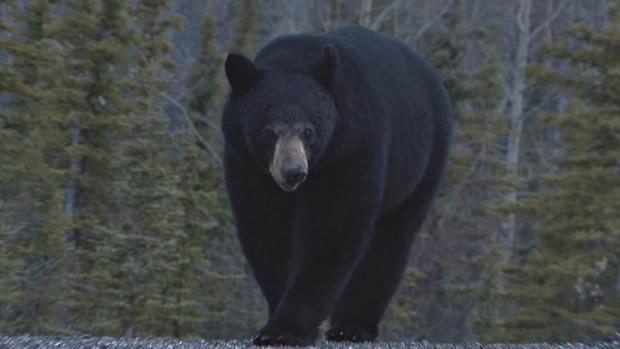 熊atttack熊,walking.jpg