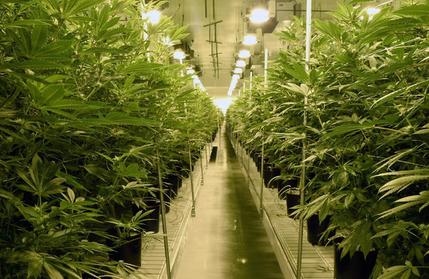 大麻植物于2017年7月6日在内华达州拉斯维加斯的Essence Vegas'54,000平方英尺的大麻种植设施种植。