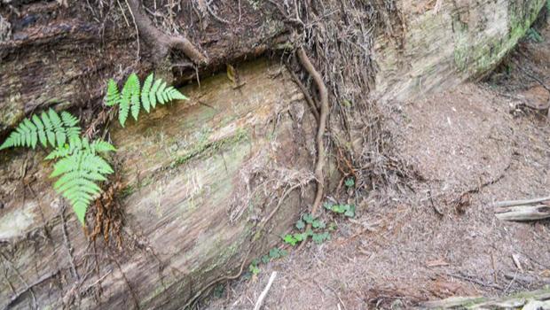 红杉伤害到树树皮620.jpg