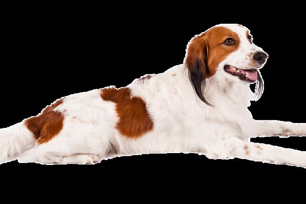 科克尔犬,cutout.png