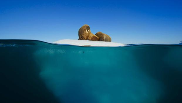 蓝色星球 - 海象和-PUP-上浮动海冰-620.jpg