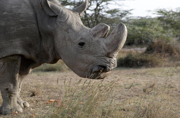 The last surviving male northern white rhino named Sudan is seen at the Ol Pejeta Conservancy in Laikipia, Kenya, June 18, 2017.