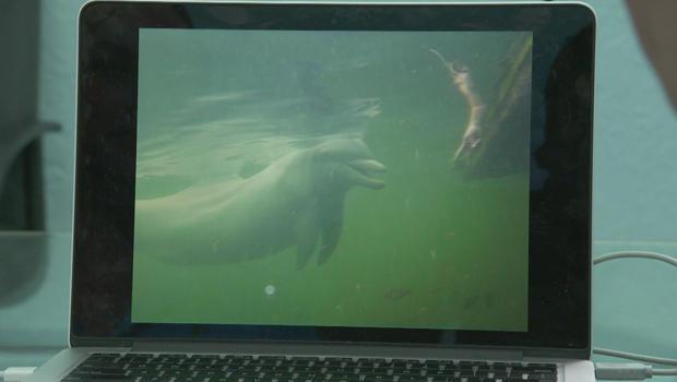 dolphin-command-to-call-calf-620.jpg