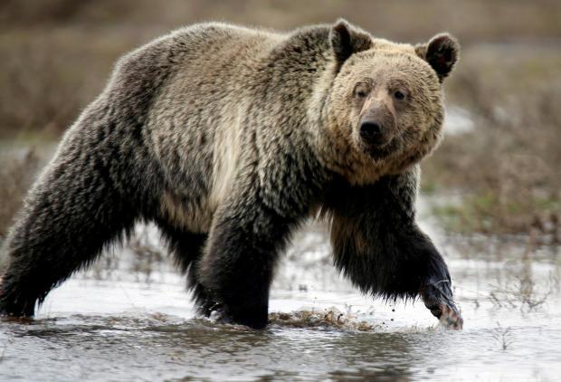 文件照片:一只灰熊在怀俄明州黄石国家公园的海登谷漫游