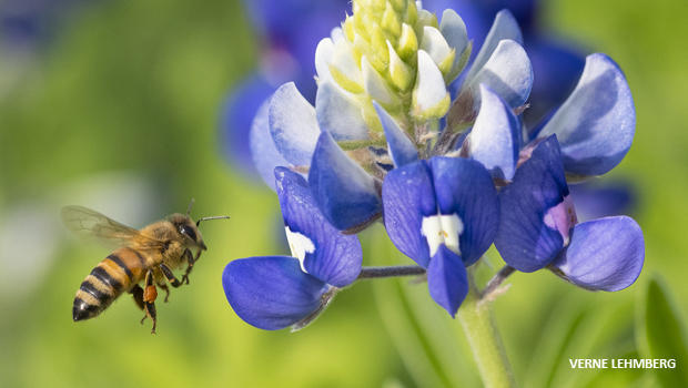 蜜蜂盘旋,近矢车菊 - 凡尔纳lehmberg-620.jpg