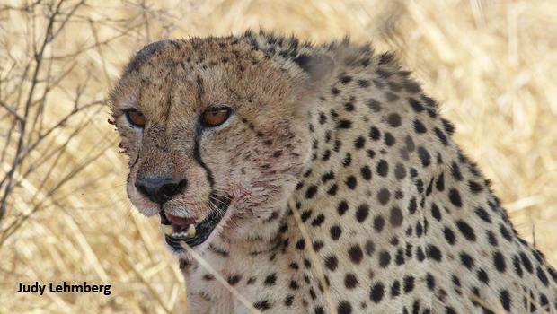 猎豹与血 - 克鲁格 - 国家公园 - 朱迪 -  lehmberg-620.jpg