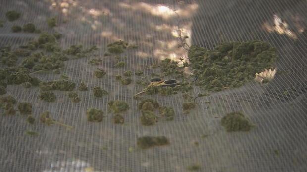 黑石-大麻-胸围帧4534.jpg