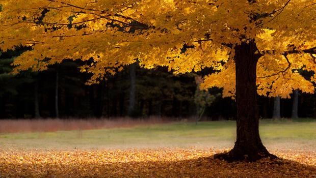 一棵孤零零的金色枫树