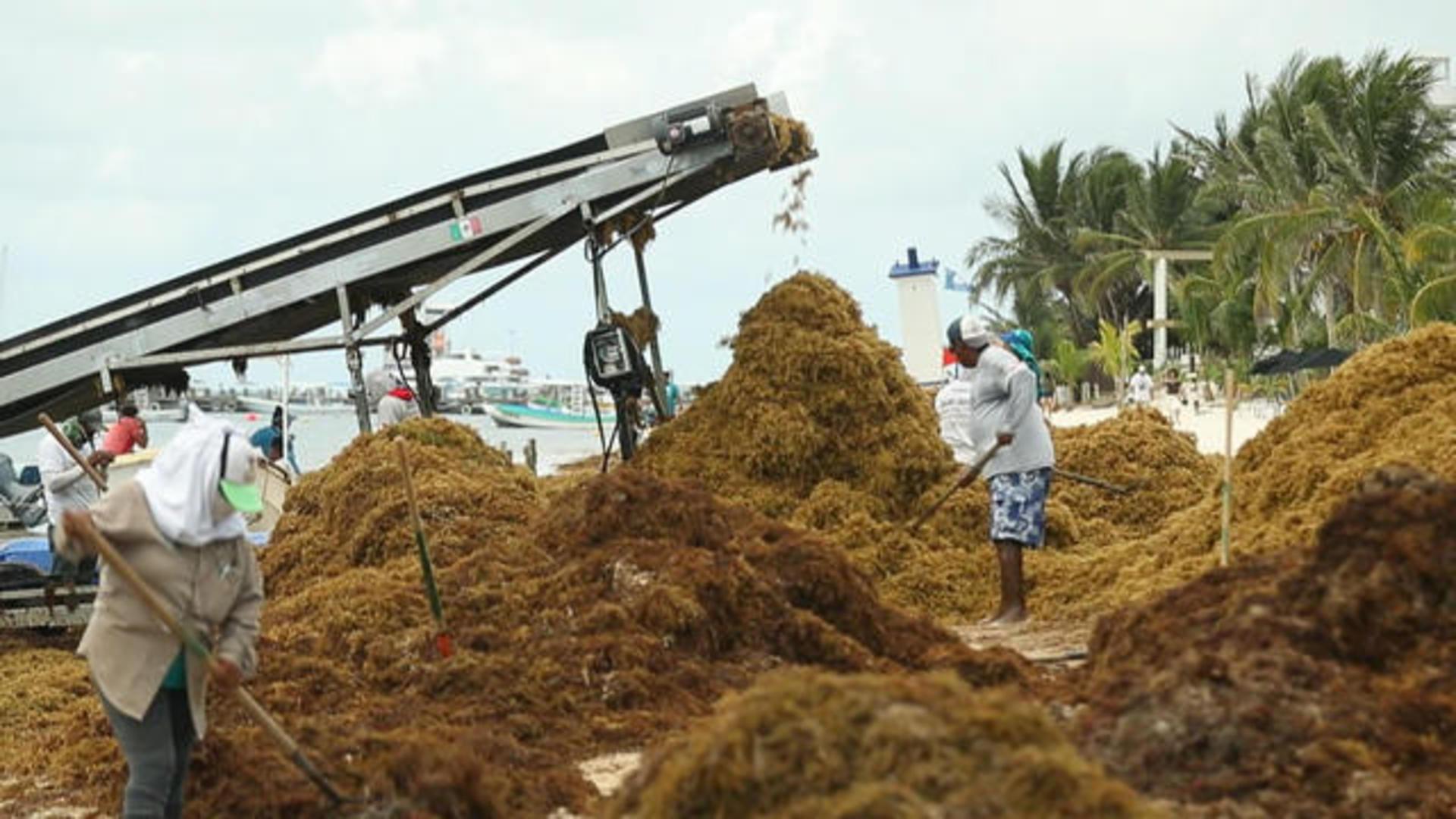Massive waves of toxic seaweed inundate Yucatan Peninsula beaches