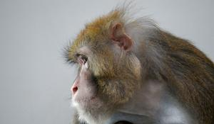 Monkey trials show promising vaccine results