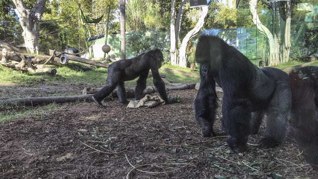 Gorillas At The Zoo