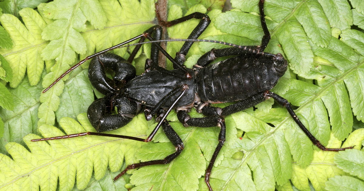 Acid-spraying, scorpion-like insects spotted in Texas - CBS News