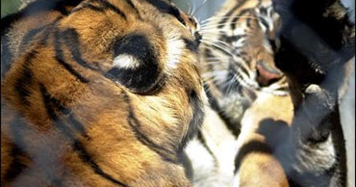 Lions, Tigers And Bears - At Home! - CBS News