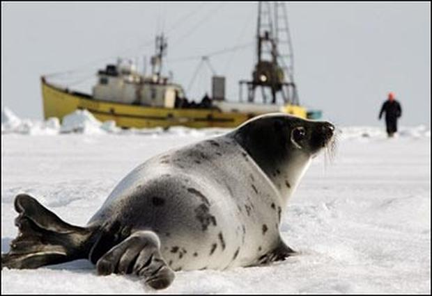 an analysis of the issue of seal hunt in newfoundland The economics of the commercial seal hunt value of the seal hunt to individual sealers the newfoundland government indicates there are 4000 related issue.