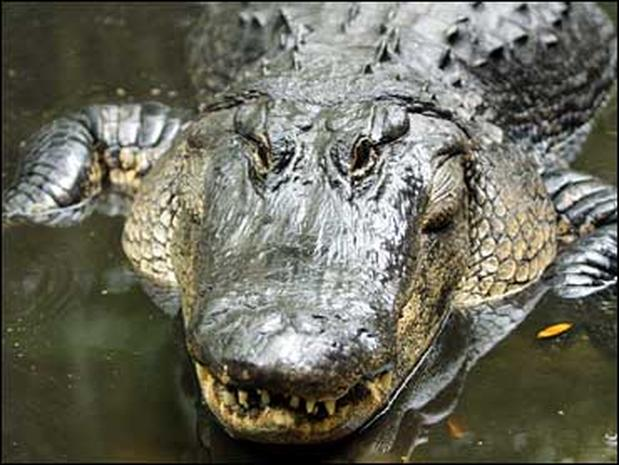 Alligator attacks on the rise alligator attacks pictures cbs news freerunsca Image collections