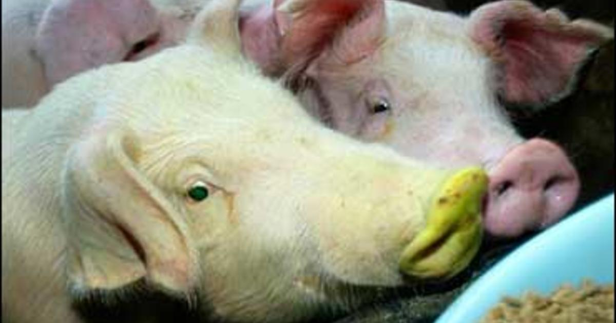 Glowing Green Pigs Bred In Taiwan - CBS News