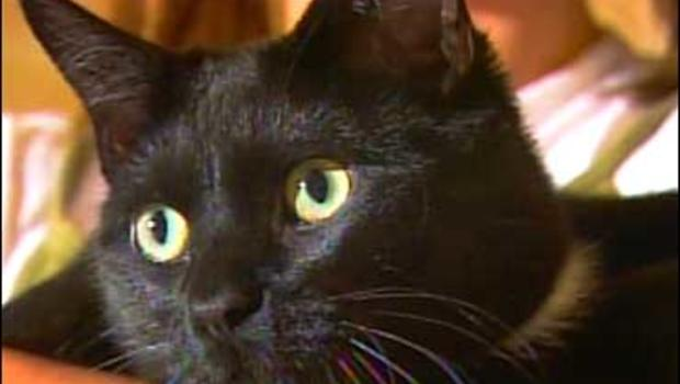 Why Is Tainted Food Killing More Cats Cbs News