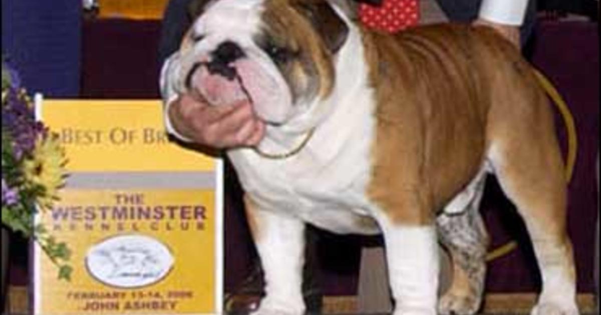 English Bulldog National Dog Show