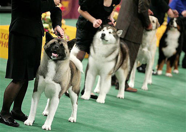 2008 Westminster Dog Show