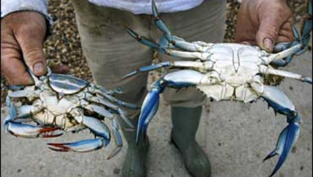 Blue Crab Blues Seafood Business Drowning - Cbs News-3836