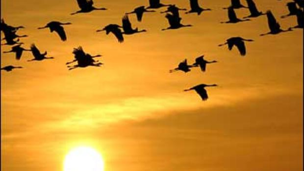 Cranes fly from their feeding sites to the sleeping places during sunset near the eastern German village of Linum north of Berlin, Thursday, Oct. 23, 2008. Linum is the biggest resting place for this birds in central Europe, as they feed and rest before h