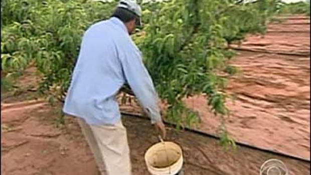 Peach farm worker