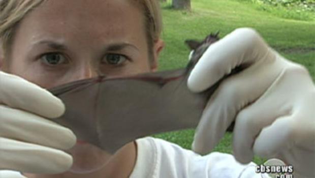 Scientist examines bat