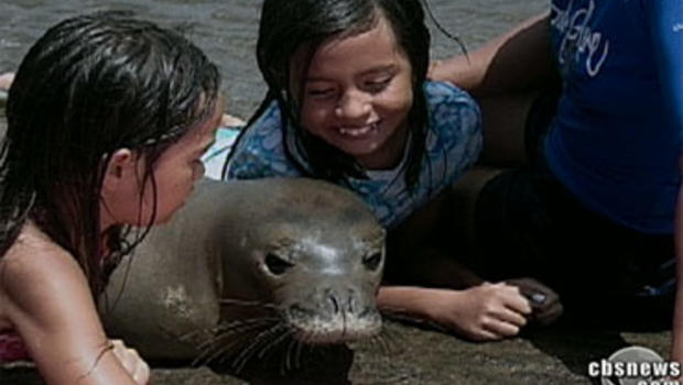 Hawaiian Monk Seal KP2 is a bit too friendly for his own good.