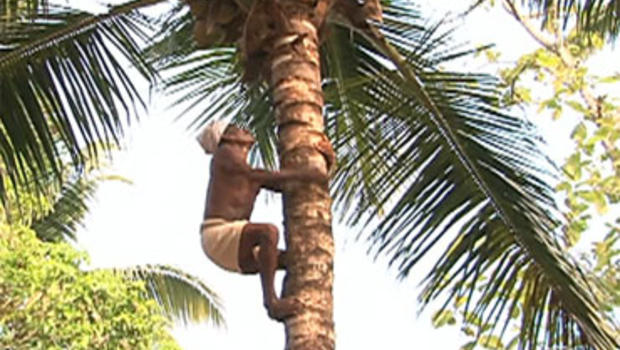 A coconut plucker climbs a tree in Kerala, India.