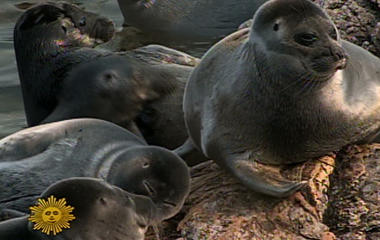 The Seals of Siberia