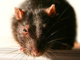 rodent, rat, food, gross, fda, generic, stock