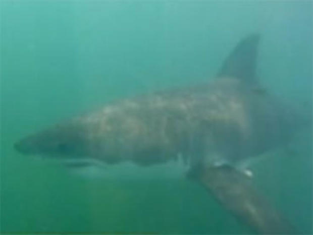 A photo taken from footage of great white shark by Chuck Patterson.
